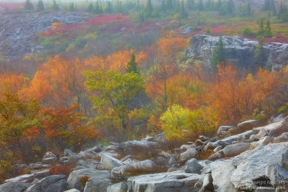 Viewed through heavy rain, fall color surrounds the sandstone rocks of the Bear Rocks Preserve in the Monongahela National Forest, West Virginia.