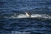 copper shark or bronze whaler ( Carcharhinus brachyurus ) feeding on bait ball of sardines, Sardinops sagax, during annual Sardine Run off the Wild Coast ( Transkei ) of South Africa at Mboyti ( Indian Ocean )