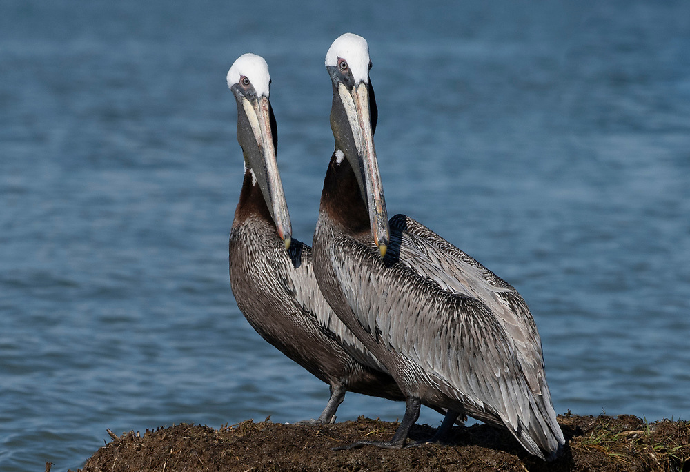 Identical pair of adult Pelicans standing on shore of rookery