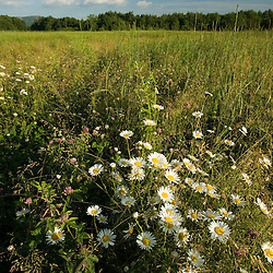 Daisies in a hay field in Easthampton, Massachusetts.  Echodale Farm.  Mount Tom is in the distance.