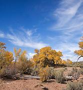 Yellow Cottonwood trees in Utah desert.