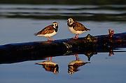 Ruddy Turnstones on log & Reflection - Quebec, Canada