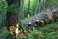 Funghi growing on an old fallen Common beech (Fagus sylvatica) tree in Jarabá Skala  Nature Reserve. Runina area, Mount Durkovec (1189 m), Slovakia.
