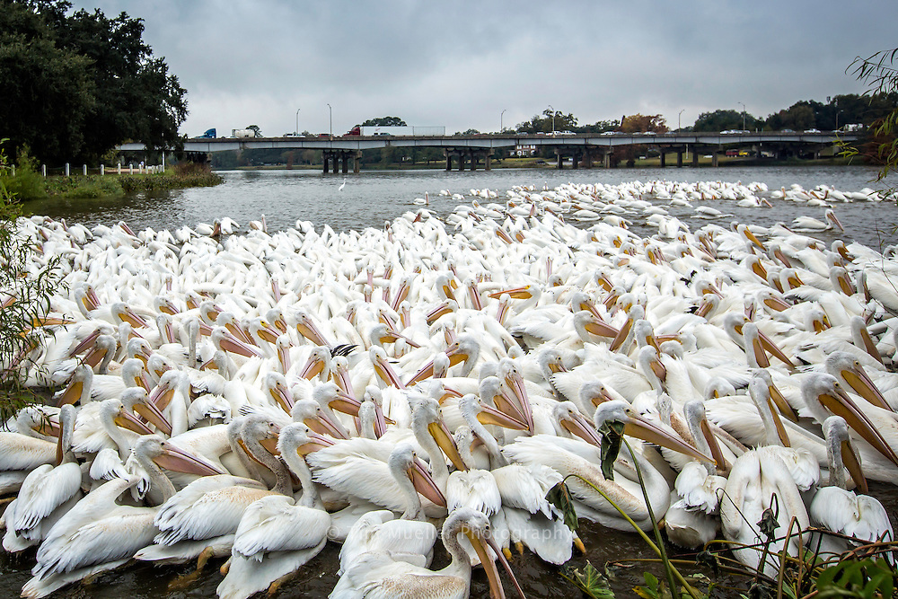 A pod of White Pelicans feed at City Park Lake in Baton Rouge, La.