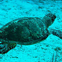 Green Sea Turtle, Chelonia mydas, Linnaeus 1758, Seven Mile Beach, Eden Rock, Grand Cayman