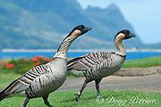 nene or Hawaiian goose, Branta sandvicensis ( endemic species ), the world's rarest goose, Princeville, Kauai, Hawaii, U.S.A.