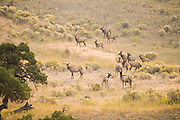 A herd of female (cow) elk and their young gather in a clearing filled with yellow flowers at sunrise near Mammoth Hot Springs, Yellowstone National Park, Wyoming.