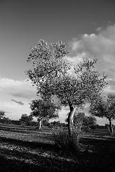 Acquaviva delle Fonti 17/10/2010, serie di alberi di ulivo disposti in modo lineare....La raccolta delle olive e la produzione dell'olio extravergine sono un rituale che si protrae da moltissimo tempo in Puglia, questo avviene solitamente nel periodo che va da novembre a dicembre, mentre il lavoro di preparazione e coltivazione si svolge lungo tutto l'arco dell'anno..La raccolta è seguita nella maggior parte dei casi, quando le olive non vengono vendute all'ingrosso, dalla molitura presso gli oleifici per la produzione di quello che da queste parti viene chiamato anche oro verde..