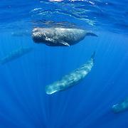 Sperm whale (Physeter macrocephalus) pod. Sri Lanka.
