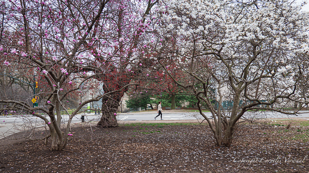Magnolia blossoms in Central Park.
