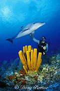 Spot, a wild, lone, sociable bottlenose dolphin, Tursiops truncatus, with pal Jason Belport on a coral reef with yellow tube sponges, Aplysina fistularis, Cayman Brac, Cayman Islands ( Caribbean Sea ) MR 281
