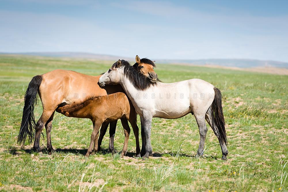 Two horses hug while a foal is drinking milk on the steppes of Dundgov Province, Mongolia. Photo © Robert van Sluis - www.robertvansluis.com