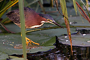 Green Heron Fishing on Lilly Pad