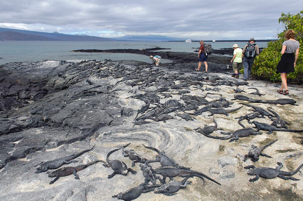 Eco-turists have to walk around a group of marine iguana at Punta Espinoza on the island of Fernndina, Galapagos.