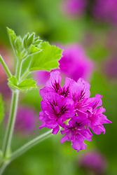 Pelargonium cucullatum 'Flore Pleno'. Species pelargonium