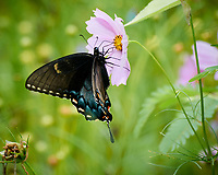 Black Swallowtail Butterfly Feeding on a Pink Cosmos Flower. Image taken with a Nikon 1 V3 camera and 70-300 mm VR lens
