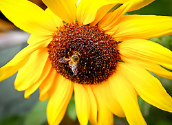 THEMENBILD - SONNENBLUMEN UND BIENEN, Bienen beim bestäuben von Sonnenblumen. Fotografiert am 02.09.2011, EXPA Pictures © 2011, PhotoCredit: EXPA/ S. Woldron