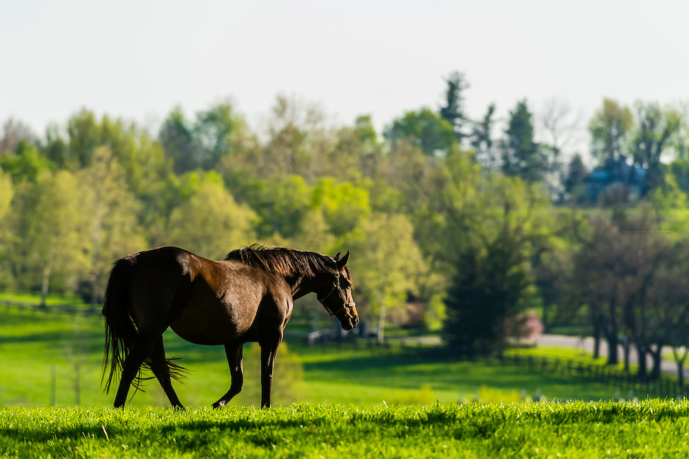 Thoroughbred mare, Winstar Farm, Versailles (Lexington), Kentucky USA.