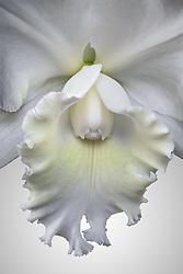 Cattleya, white #2