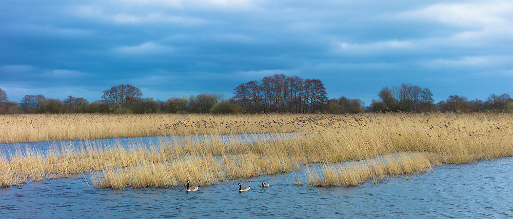 Canada Geese, Branta canadensis, among reeds in reedbed and marshes in The Somerset Levels Nature Reserve, England, UK