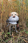A Yellow Labrador Retriever brings back a drake Canvasback during a hunt.