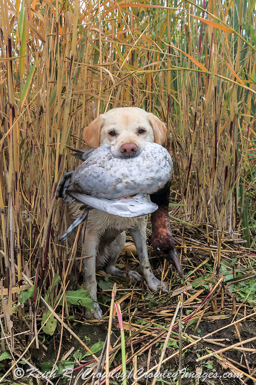 A Yellow Labrador Retriever brings back a drake Canvasback during a hunt.