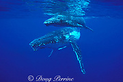 humpback whale and calf, Megaptera novaeangliae, <br /> Endangered Species, Tonga, South Pacific