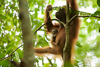 Adult female Walimah with one month old infant.<br />Eating leaves from a slender climber/liana.<br /><br />Bornean Orangutan <br />Wurmbii Sub-species<br />(Pongo pygmaeus wurmbii)<br /><br />Gunung Palung Orangutan Project<br />Cabang Panti Research Station<br />Gunung Palung National Park<br />West Kalimantan Province<br />Island of Borneo<br />Indonesia