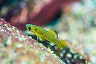 Largespring Gambusia<br /> <br /> Jennifer Idol/Engbretson Underwater Photography