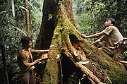 Logging huge tropical hardwood trees in a Daiya Malaysia concession, a Japanese multinational working in Sarawak during the early nineties. Rejang, Belaga district, Sarawak, Borneo 1991<br /> <br /> Tropical rainforest and one of the world's richest, oldest eco-systems, flora and fauna, under threat from development, logging and deforestation. Home to indigenous Dayak native tribal peoples, farming by slash and burn cultivation, fishing and hunting wild boar. Home to the Penan, traditional nomadic hunter-gatherers, of whom only one thousand survive, eating roots, and hunting wild animals with blowpipes. Animists, Christians, they still practice traditional medicine from herbs and plants. Native people have mounted protests and blockades against logging concessions, many have been arrested and imprisoned.