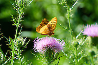 Orange Butterfly on Thistle Blooms. Summer Nature in New Jersey. Image taken with a Nikon 1 V1 +  FT1 + 70-30 mm VR lens (ISO 280, 300 mm, f/5.6, 1/500 sec) and monopod. [FOV Equivalent to ~ 810 mm on a 35 mm image sensor]..