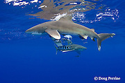 oceanic whitetip sharks, Carcharhinus longimanus, with pilot fish, Naucrates ductor, Kona Coast, Hawaii Island ( the Big Island ) Hawaiian Islands, USA ( Central Pacific Ocean )