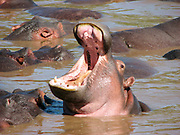 Hippopotamus with open mouth in the water. Photographed at Serengeti National Park, Tanzania