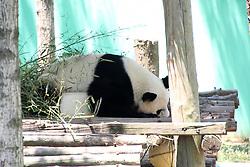 June 16, 2017 - Rongchen, Rongchen, China - Rongcheng, CHINA-June 15 2017: (EDITORIAL USE ONLY. CHINA OUT)..A panda taking a nap at a wildlife reserve in Rongcheng, east China's Shandong Province, June 16th, 2017. (Credit Image: © SIPA Asia via ZUMA Wire)