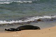 Hawaiian monk seal ( Neomonachus schauinslandi ) female with pup resting on beach, Kauai, Hawaii ( Central Pacific Ocean ) a Critically Endangered species endemic to the Hawaiian Islands