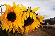 Sunflowers in Tucson, Arizona, USA.