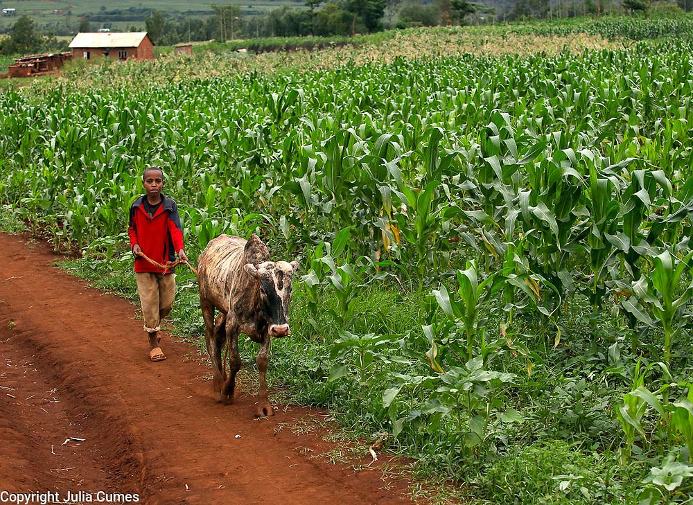 A boy walks a cow past maize fields in the Keratu Region of Tanzania.