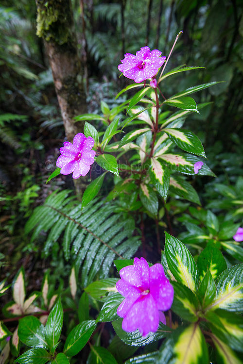 Pink flowers in cloud forest near Monteverde Cloud Forest Preserve, Costa Rica. Captive.
