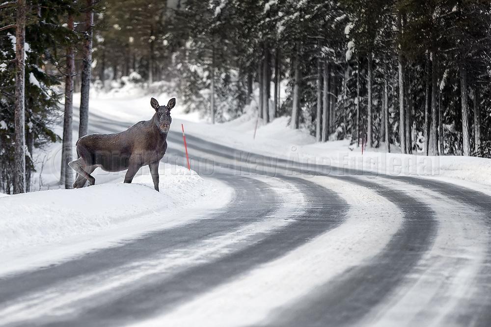 Moose crossing the road | Elg som krysser veien