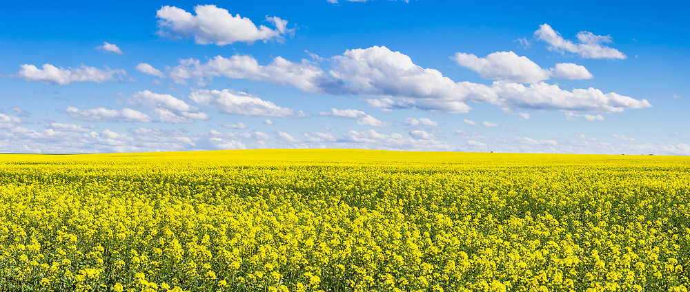 Canola crop under blue sky and cloud near Erin Vale, New South Wales, Australia. <br /> <br /> Editions:- Open Edition Print / Stock Image