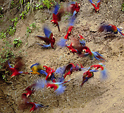 3 Species of Macaws on Clay Lick<br />