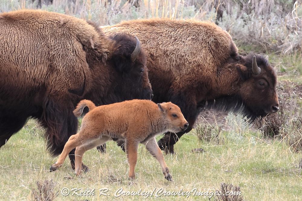 American Bison (Buffalo) cows and newborn calf running in Habitat