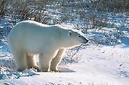 01874-075.06 Polar Bear (Ursus maritimus)  Churchill  MB