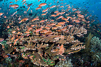 Scores of Anthias feed in the current above healthy Hard Corals<br /> <br /> Shot in Indonesia