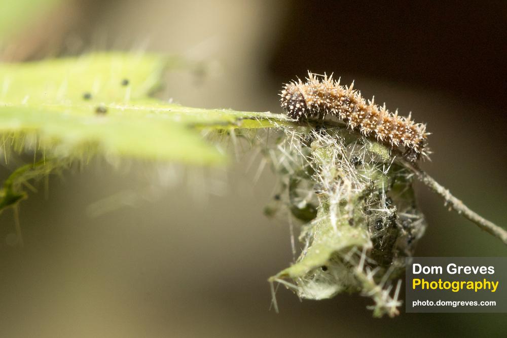 White admiral (Limenitis camilla) 2nd  instar larva on honeysuckle (Lonicera periclymenum) with aerial latrine suspended below. Sussex, UK.