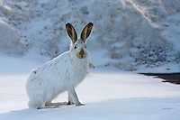 A White-tailed Jackrabbit shows off its winter colors...©2009, Sean Phillips.http://www.Sean-Phillips.com