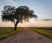 A tree stands alone along an unpaved, section-line road south of Wichita, KS.