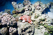 Cushion star (Choriaster granulatus) on a coral reef. This starfish is found on coral reefs and sandy bottoms throughout the tropical Indo-Pacific region, from east Africa to the western Pacific Ocean. It feeds on detritus and dead animals and can reach a diameter of around 25 centimetres. Photographed in the Red Sea, Eilat, Israel.