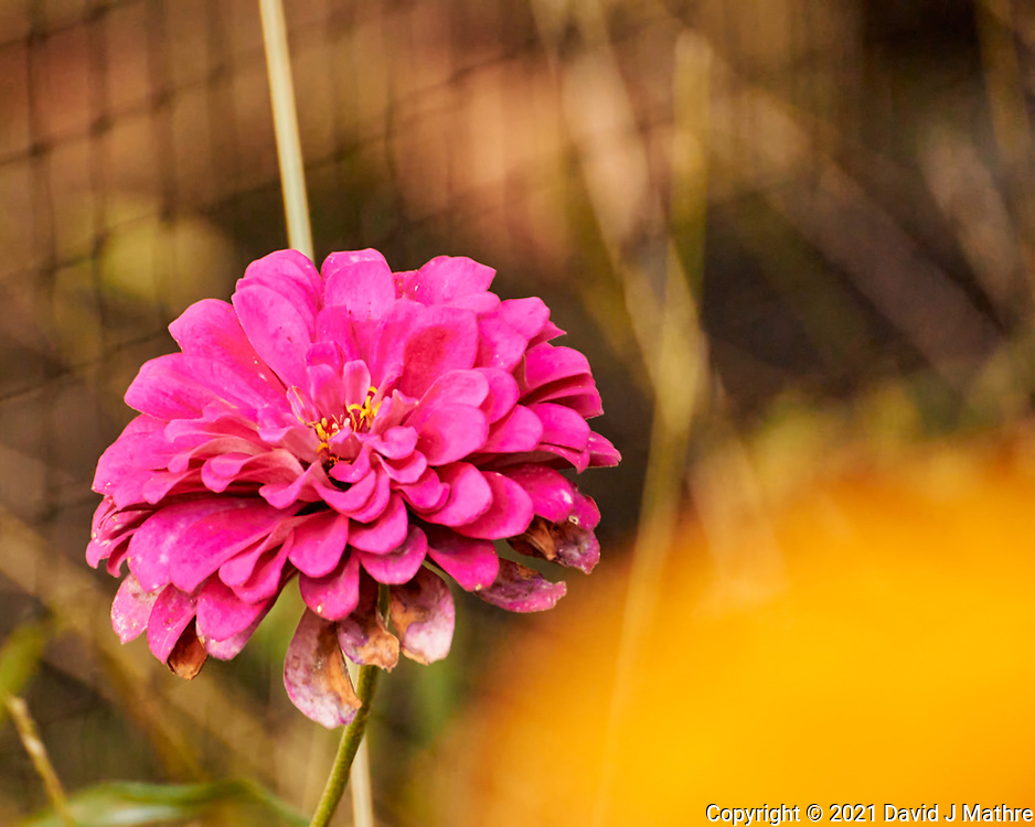 Zinnia. Image taken with a Nikon 1 V3  camera and 70-300 mm VR lens.