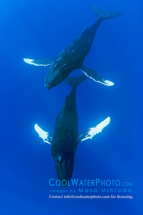 humpback whales, Megaptera novaeangliae, male escorting female underneath, courtship behavior, Kohala Coast, Big Island, Hawaii, USA, Pacific Ocean